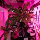 NASA planning to grow its first fruit in space