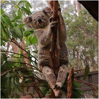 Koala Rescue: Woman risks her life to save koala from raging bushfires