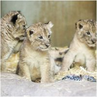 Five lion cubs born at Leipzig Zoo