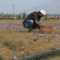 WATCH: Saffron farmers battling drought in Kashmir