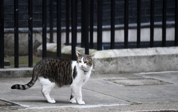 Larry the Downing Street cat, walks outside 10 Downing Street, the official residence of British Prime Minister Theresa May, in central London on March 29, 2017. (Photo by Oli SCARFF / AFP) (Photo by OLI SCARFF/AFP via Getty Images)
