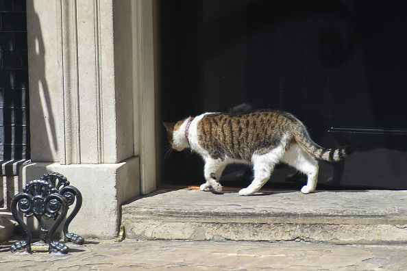 Larry the cat walks into 10 Downing Street, London on June 13, 2017. (Photo by Alberto Pezzali/NurPhoto via Getty Images)
