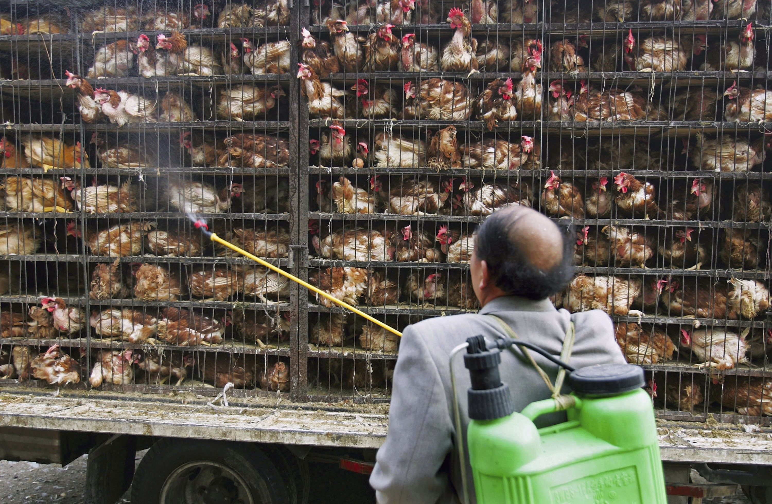 (A worker disinfects chickens transported to a chicken slaughtering factory, Photo: Getty Images)