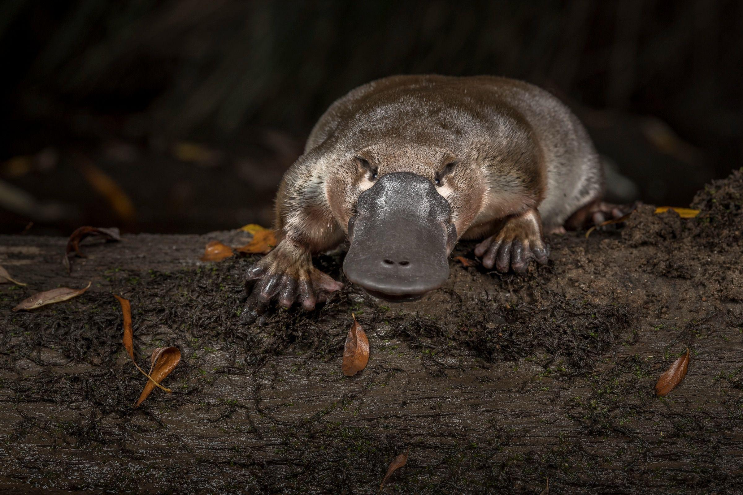 (Platypus, Photo: bioGraphic)